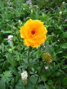 Жарки - цветы Алтая